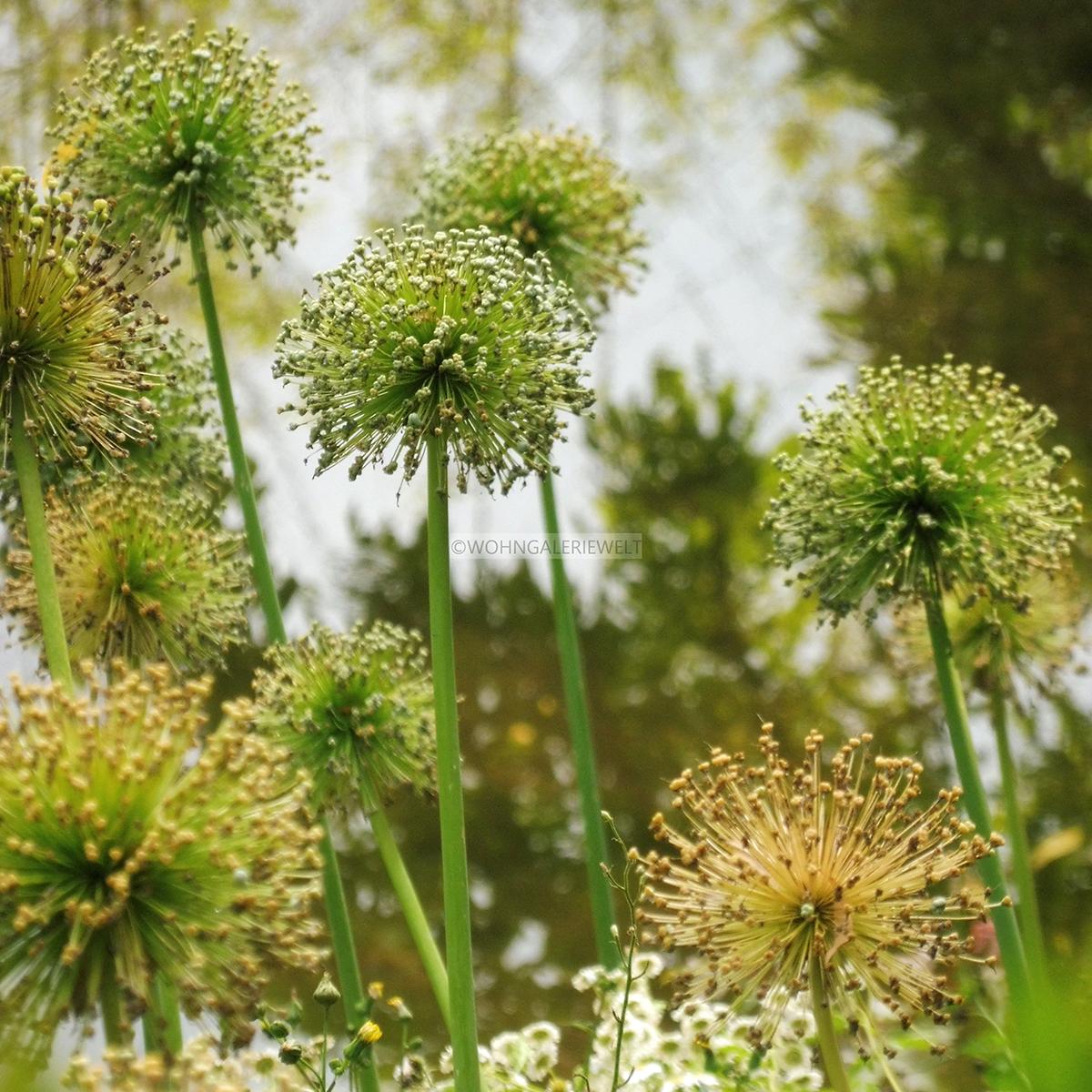 Alliumballs