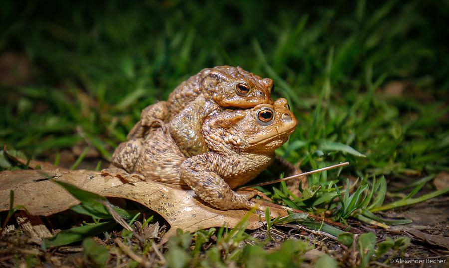 """""""Erdkröten-Doppeldecker"""".  Foto: Alexander Becher"""