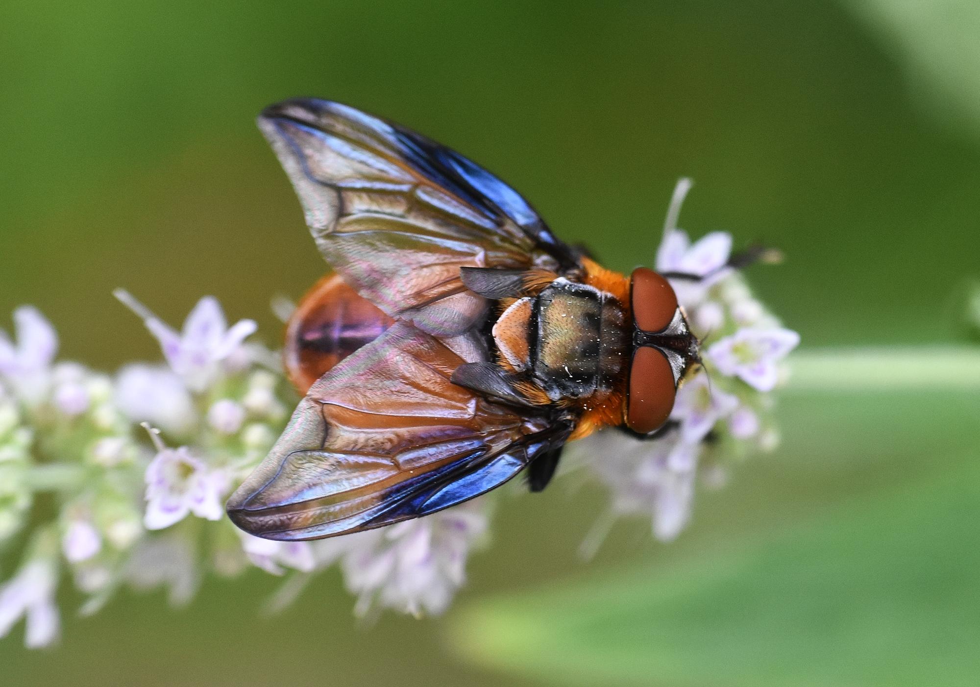 Blauschiller-Wanzenfliege