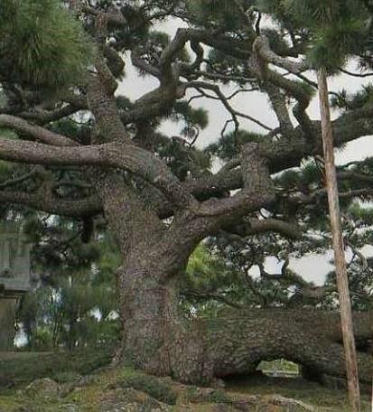 沖縄の二大名松のひとつ。もう一つは伊平屋島の『念頭平松』こちらも見事です。