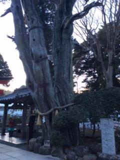 白浜神社のご神木 ビャクシン