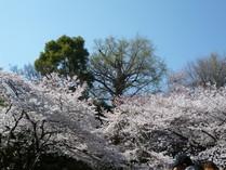 王子神社のイチョウと音無親水公園の桜