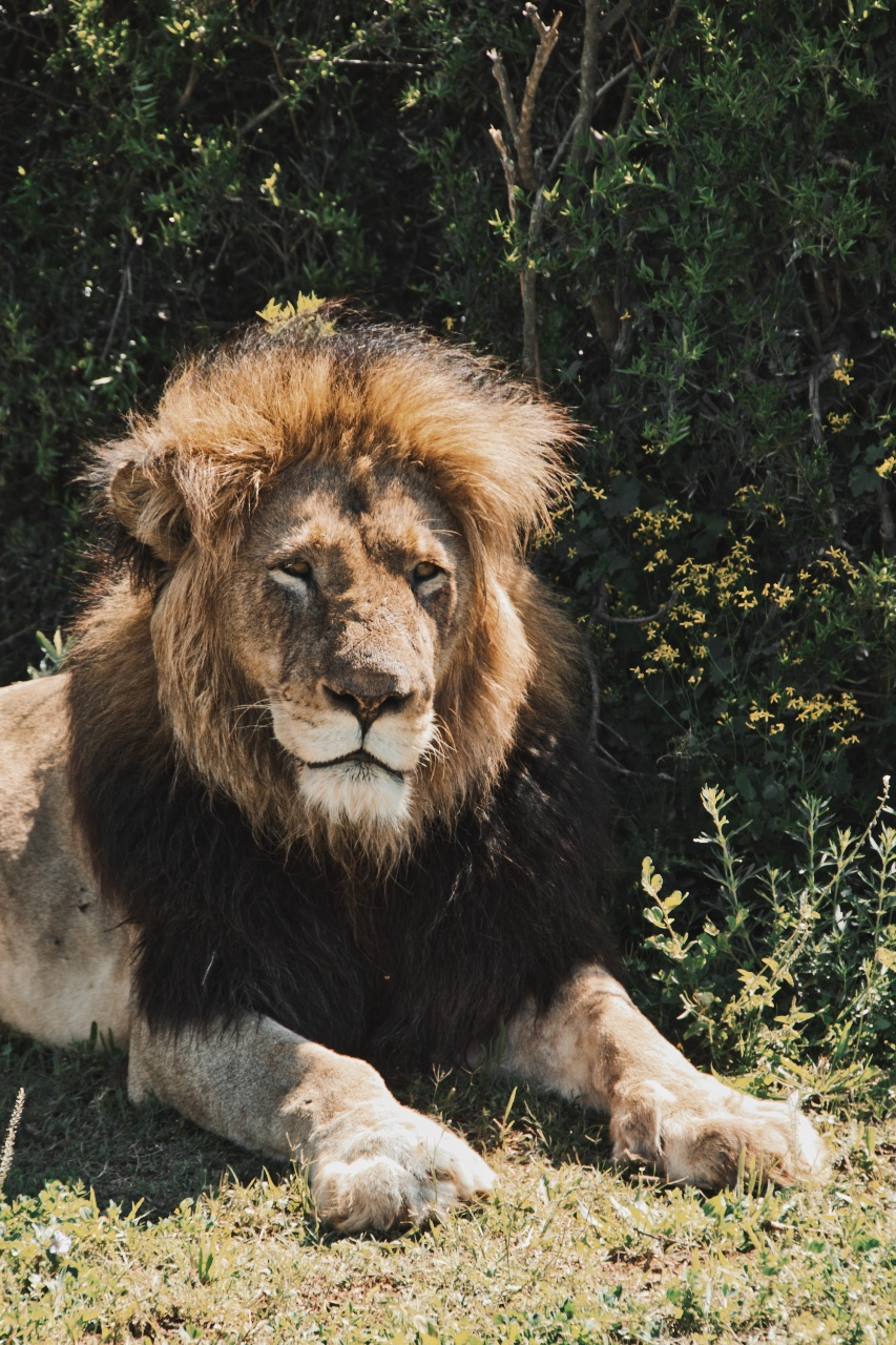 Ein Löwe entspannt im Gras und schaut uns an