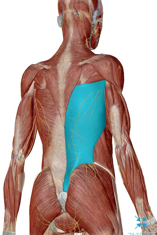 猫背改善 広背筋解剖図