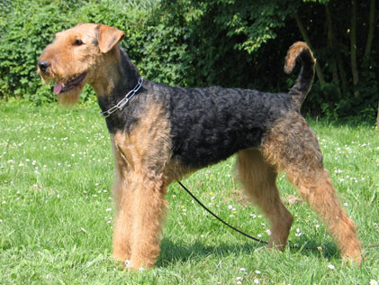 airedale terrier webseite kft terrier m nchen. Black Bedroom Furniture Sets. Home Design Ideas