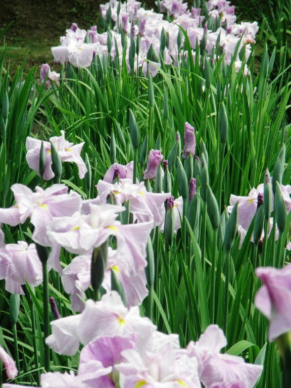 吉香花菖蒲園 一列だけ咲いていました。