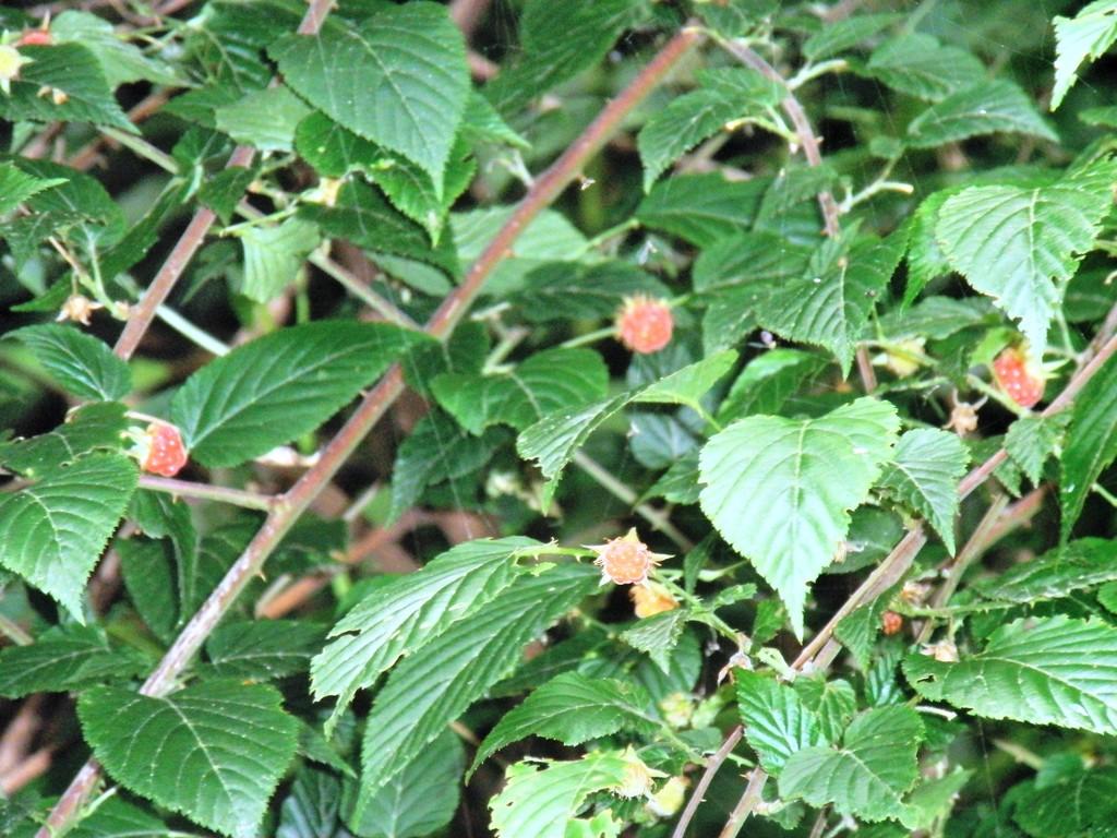 木イチゴです。科学センターの植物班の小学生が元気に挨拶してくれました。