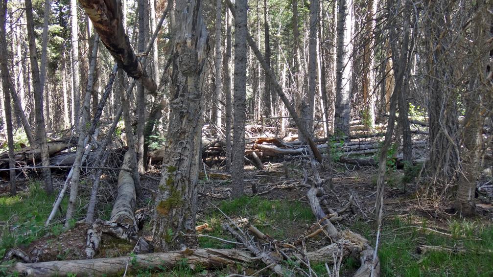 forêt typique, encombrée d'arbres tombés