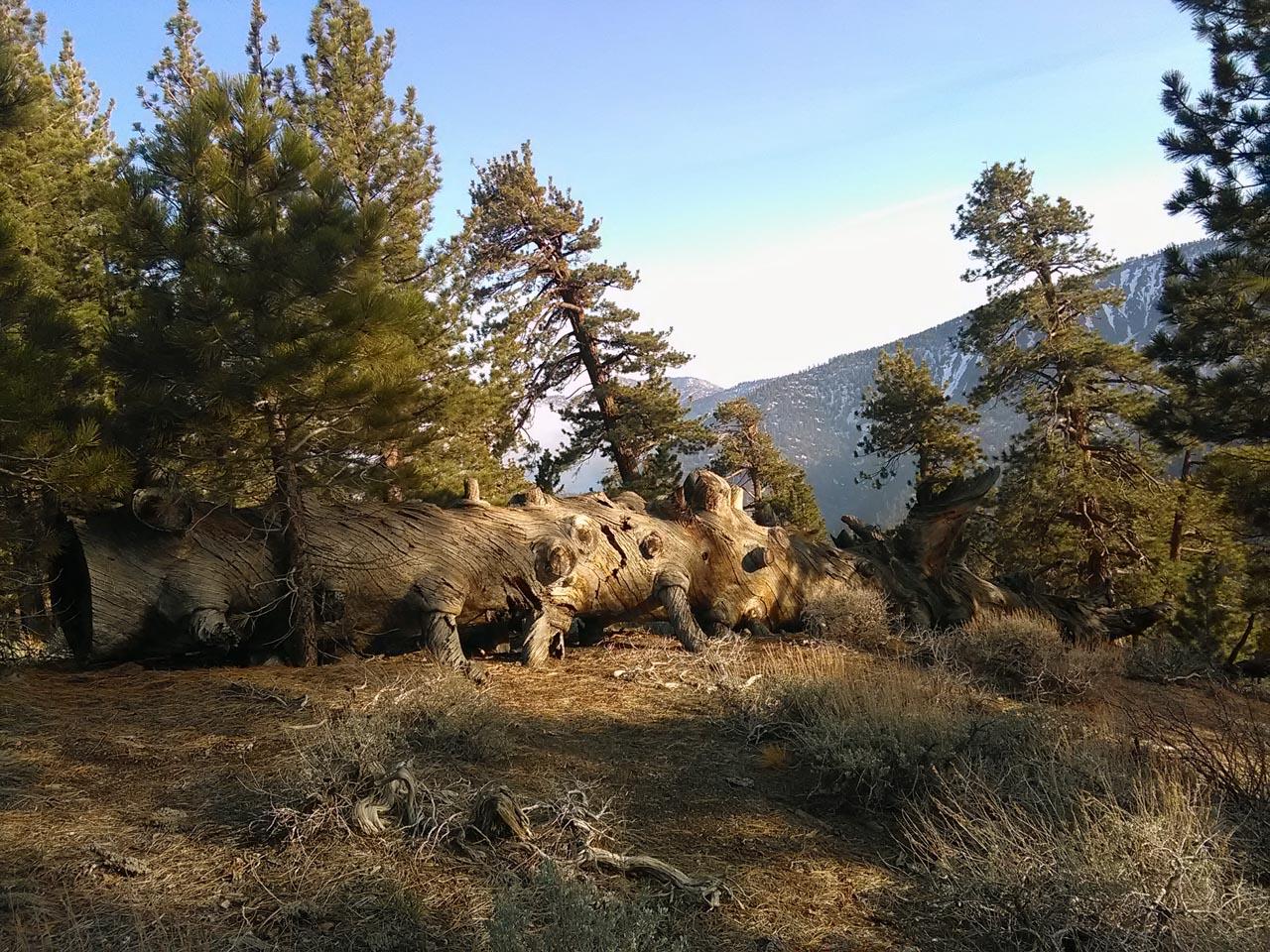 arbres morts torsadés