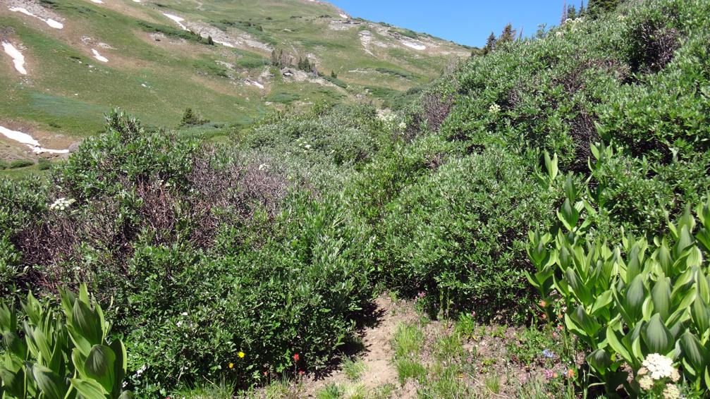 buisson de manzanita