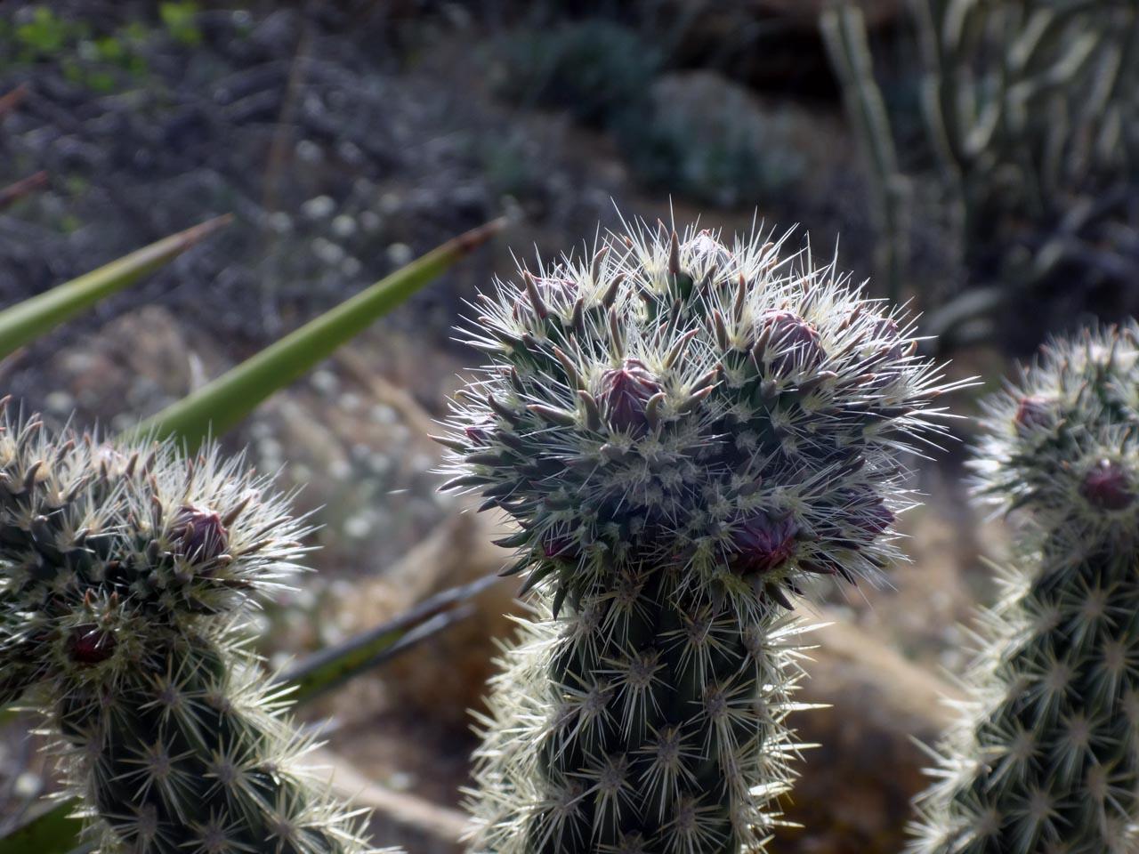 les cactus en fleurs