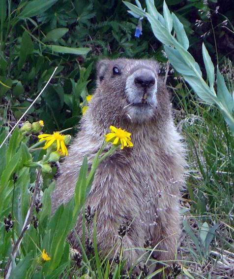 Marmote à 2m