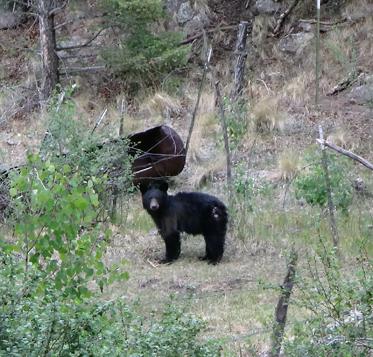 ours noirs sur le Mt Taylor