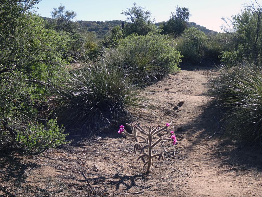 les cactus sont en fleurs