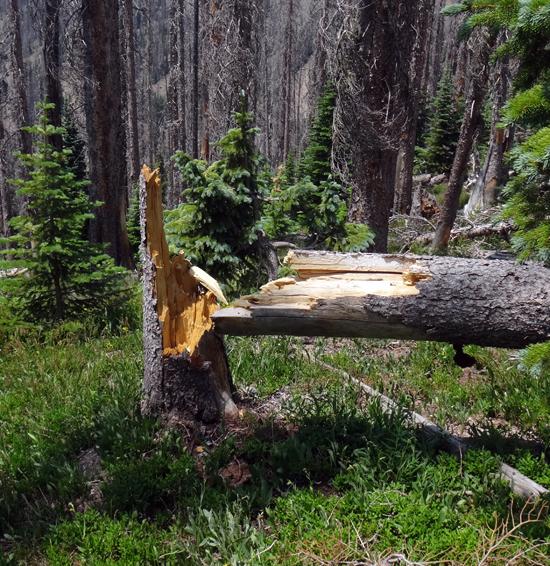 les arbres attaqués par les insectes séchent et cassent
