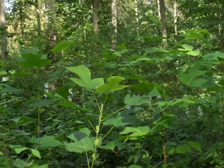 Amerikanischer Tulpenbaum, zweijährig, Forstbetrieb Kalebsberg