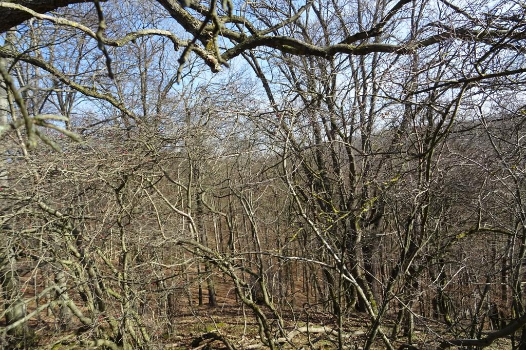 Der Blick nach Osten, durch die Bäume zum Wiesenberg mit seinen zwei Kuppen