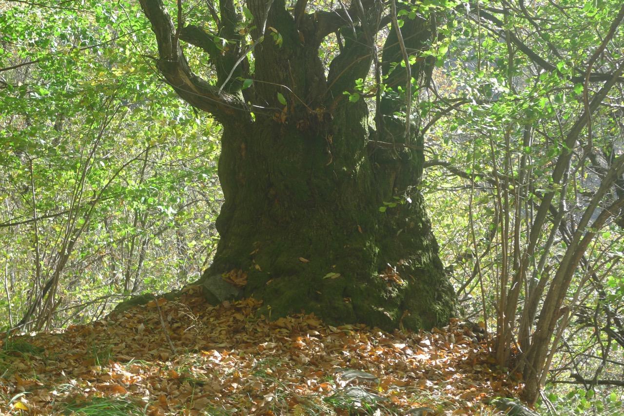 Uralte Kastanienbäume im Aufstieg nach Bardughè
