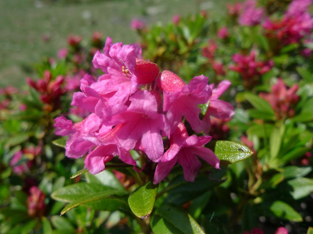 Blühende Alpenrosen