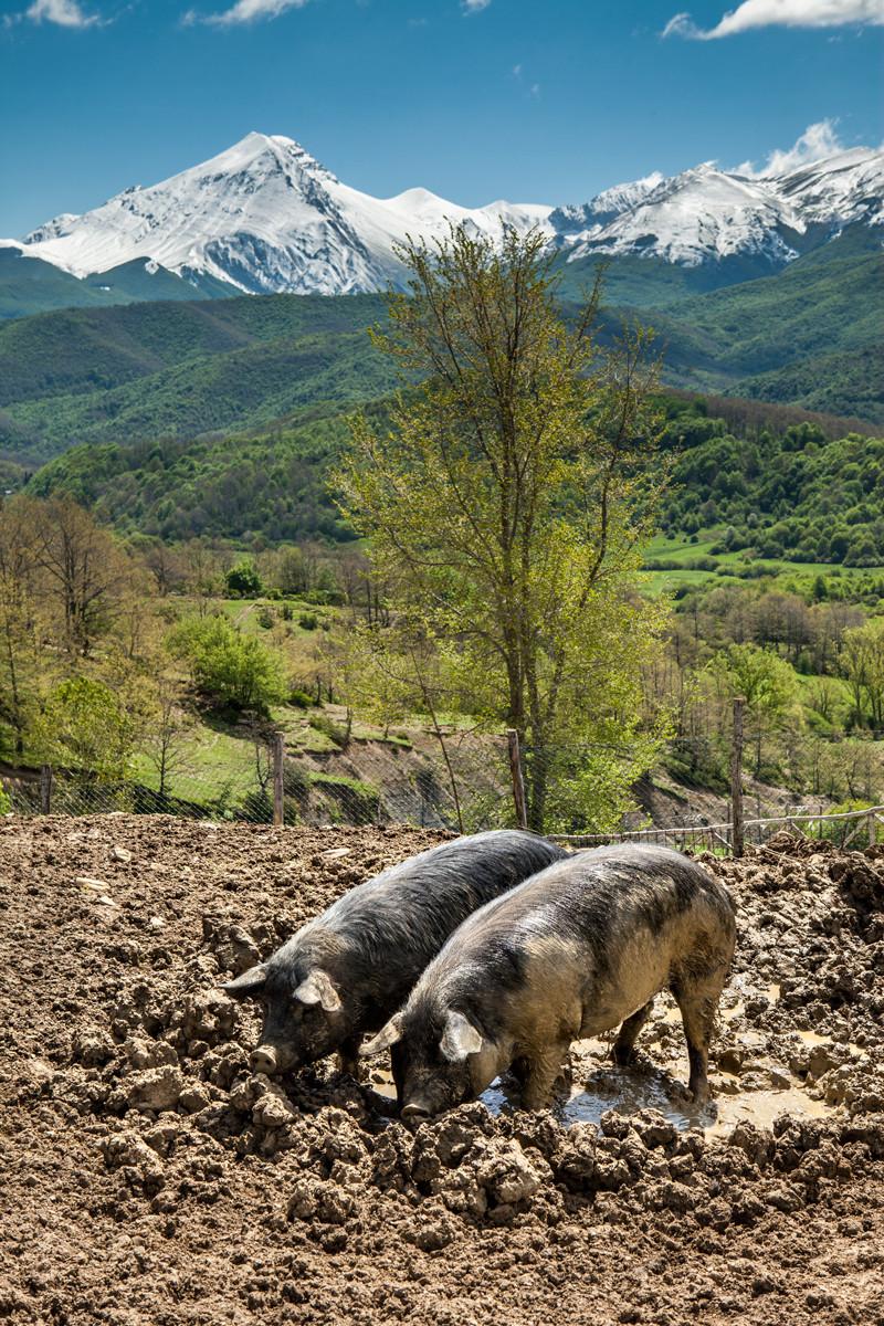 Campotosto, maiale nero d'Abruzzo