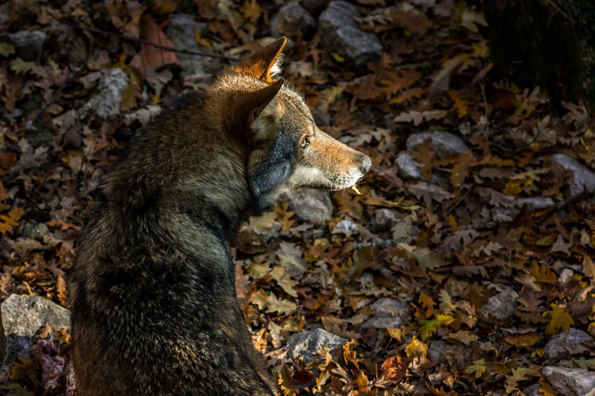 lupo, Parco Nazionale d'Abruzzo, Lazio e Molise