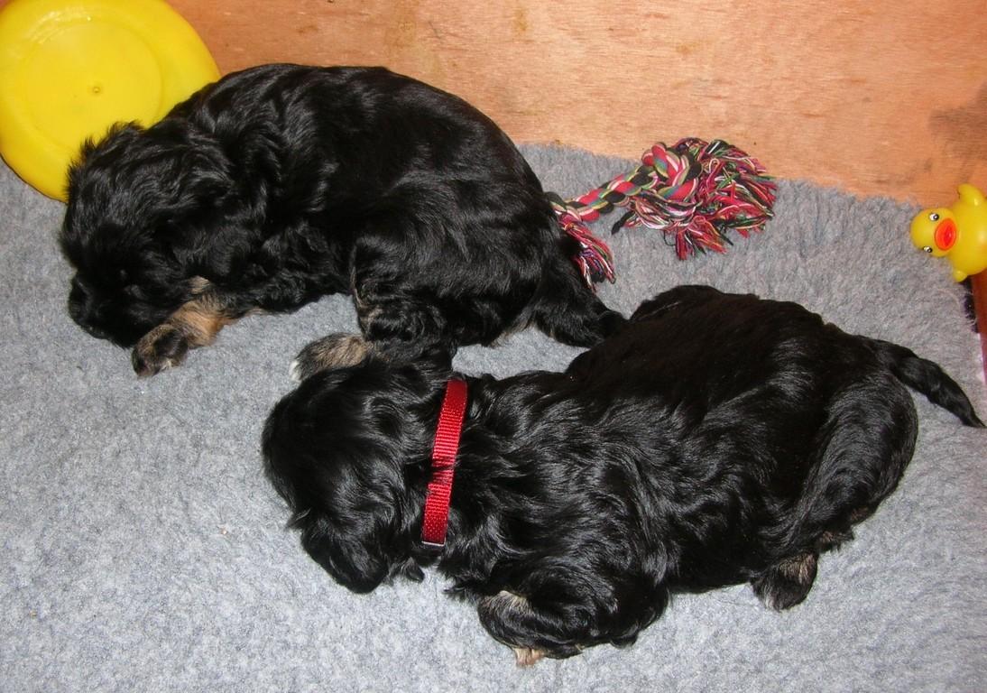 22.11.08 das black & tan Pärchen... (rotes Halsband = Mädchen = Atisha!