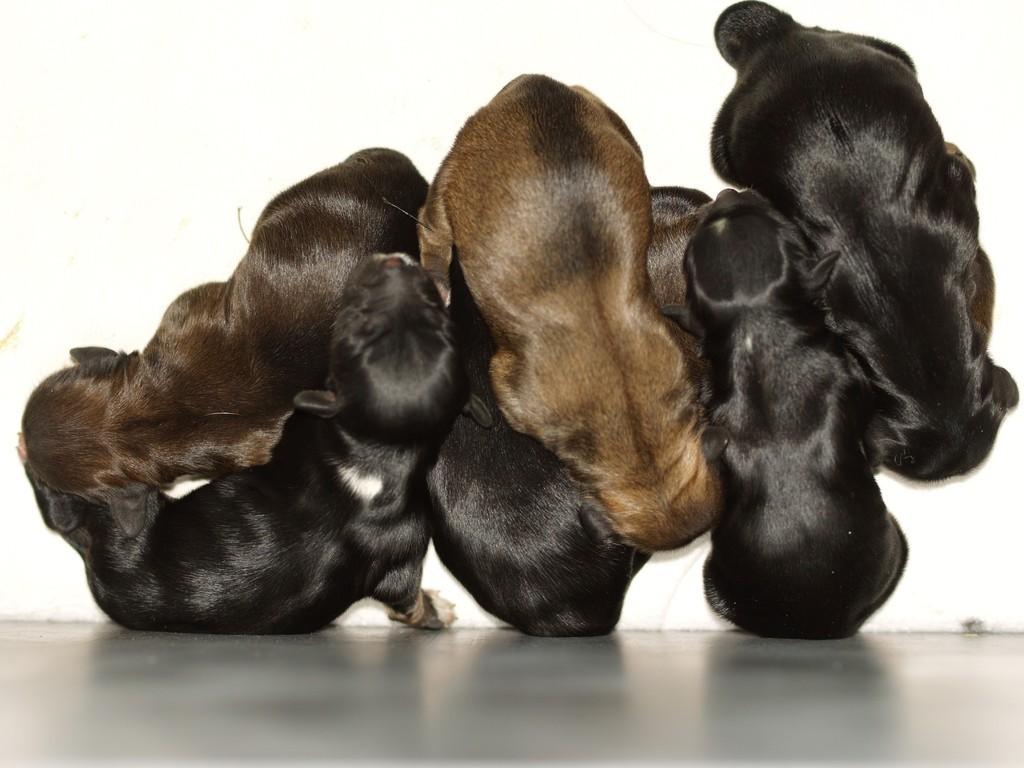 das sind 4 Jungs und drei Mädels - Mama ist zobelfarben... - Papa unser Jeff...