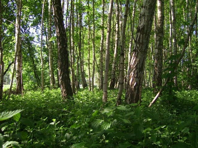 später Mai im Birkenwald bei Hitzacker