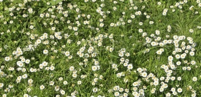 You may also want to try growing chamomile under and around a garden seat, or in and around a pathway. The fragrant aroma will be released each time the seat is used and the pathway is walked on!