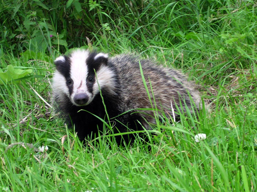 Stop Badgers