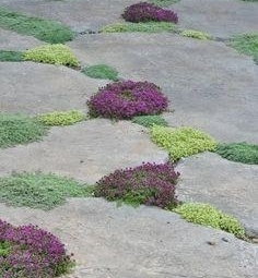 Plants to fill gaps in patios, paths and concrete