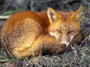 Humane fox control
