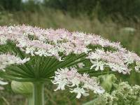 It is a tall (up to 15 feet)  cow parsley-like plant, the stems are green with dark-red or purple blotches and are hollow. The flowers are white in colour with a pinkish tinge forming flat-topped clusters facing upwards and growing as large as 2ft acros