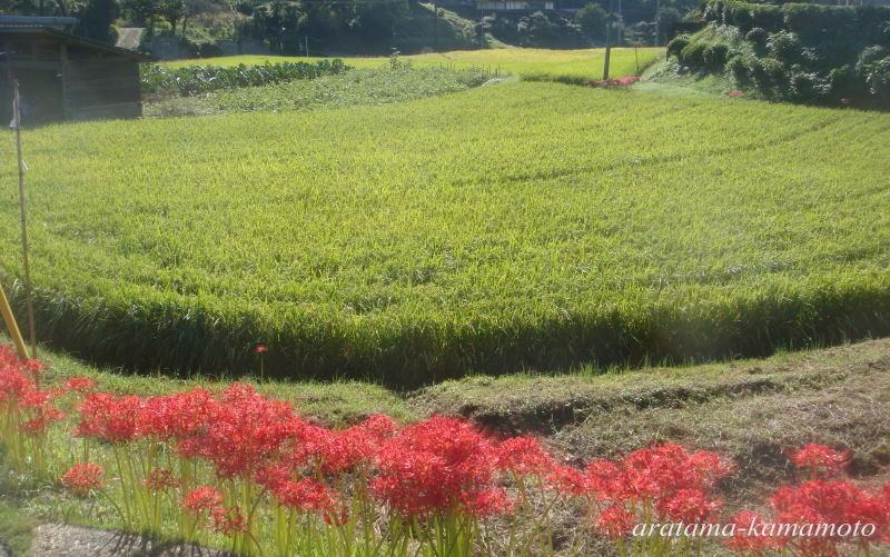 秋には彼岸花が咲き乱れます。