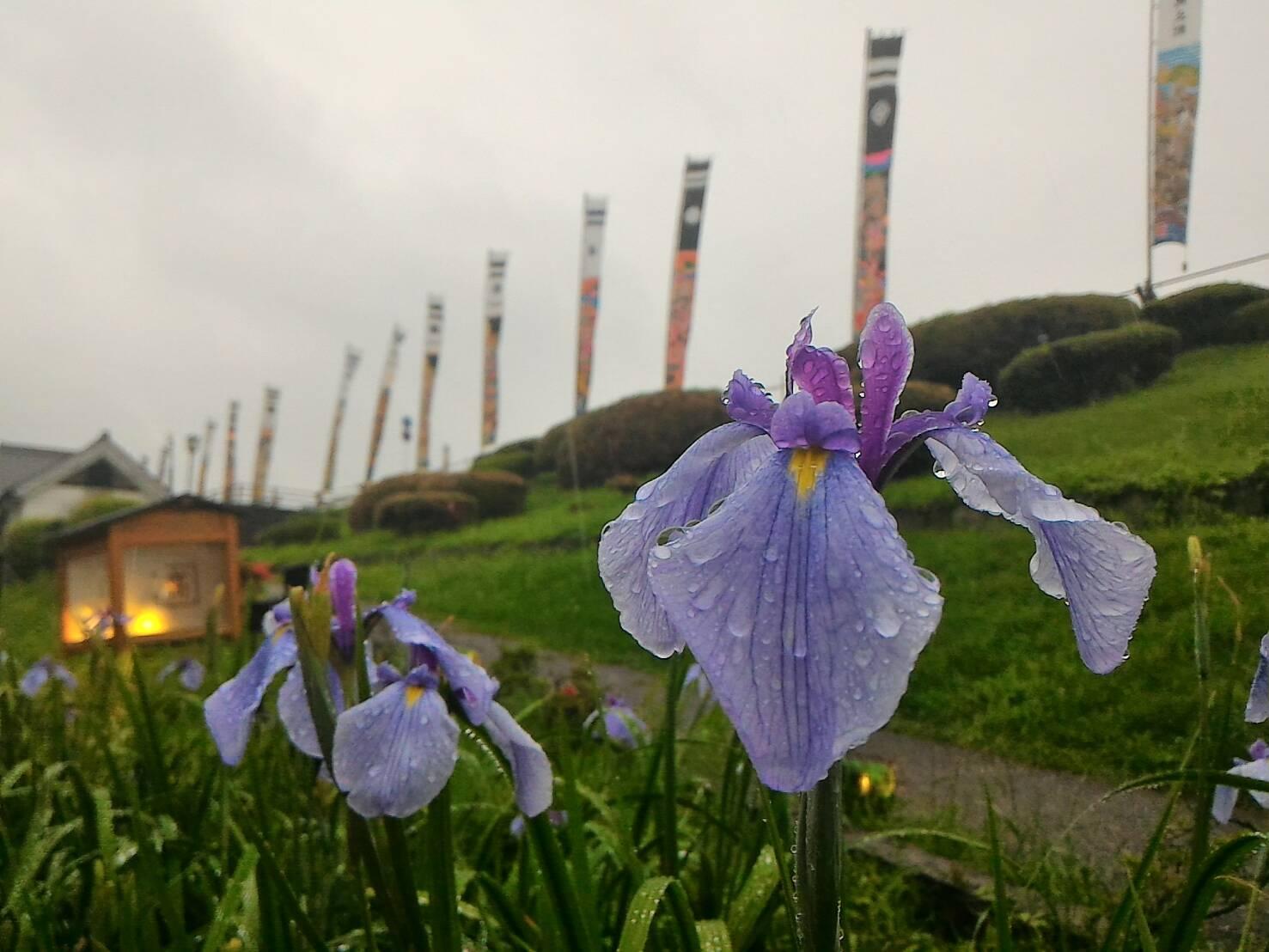 雨の花菖蒲もキレイです。