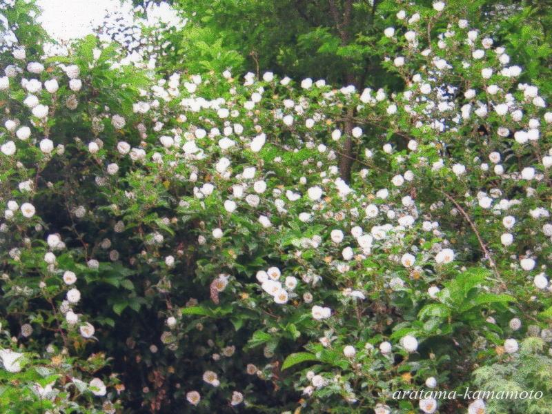 展示室前にある初夏にかけて咲くナニワイバラです。