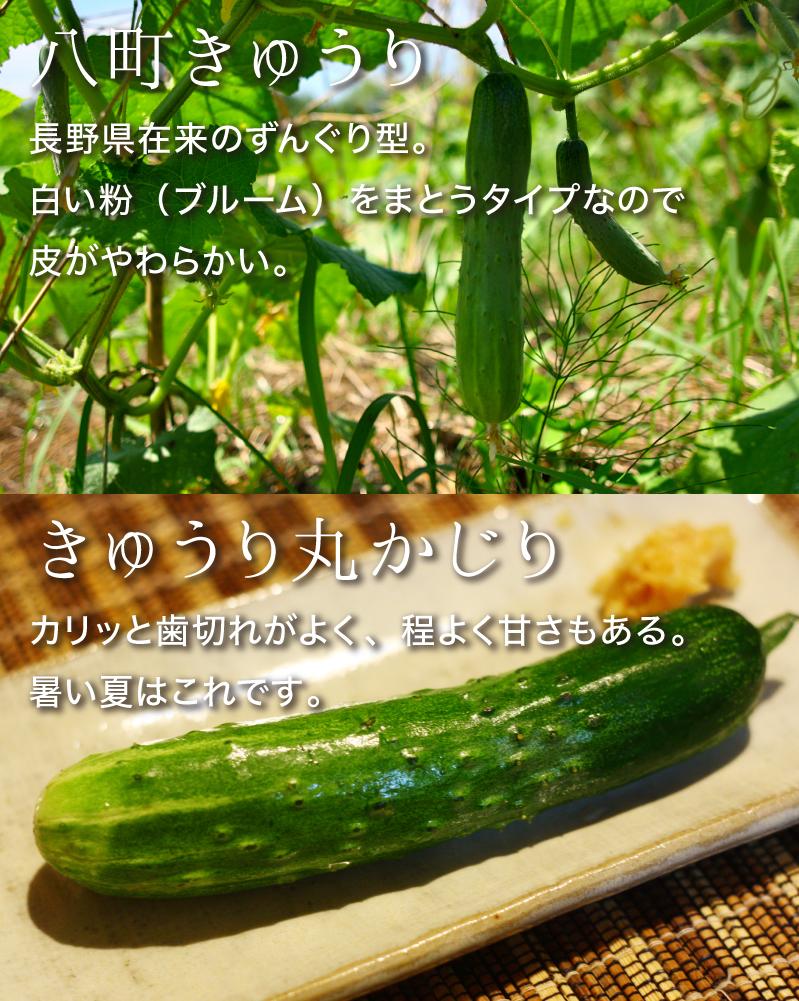 八町きゅうり:長野県在来のずんぐり型。白い粉(ブルーム)をまとうタイプなので皮がやわらかい。きゅうり丸かじり:カリッと歯切れがよく、程よく甘さもある。