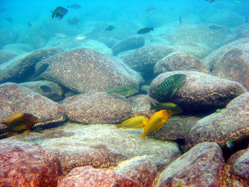 Petrochromis moshi yellow bei Mabilibili