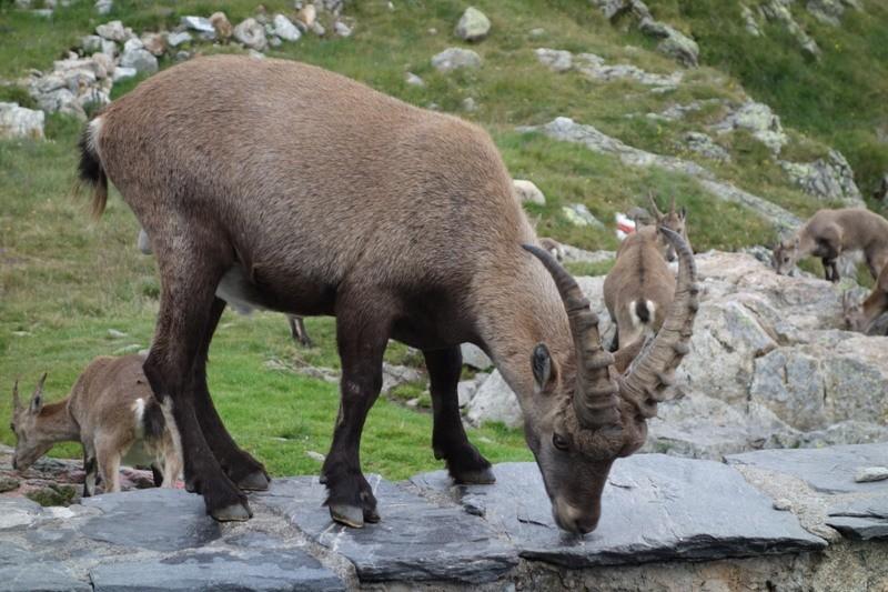 Steinbock an der Glecksteinhütte.