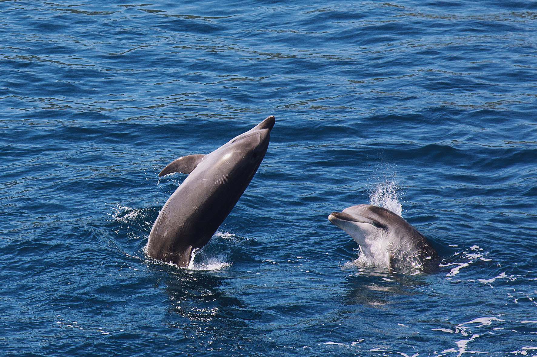 Delfine, Bay of Islands