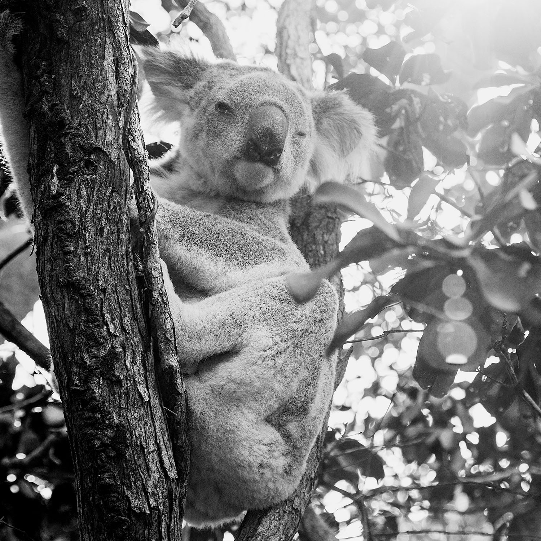 Koala - Magnetic Island