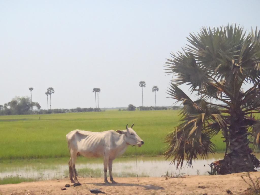 ほとんど水牛で農作業、沢山います。