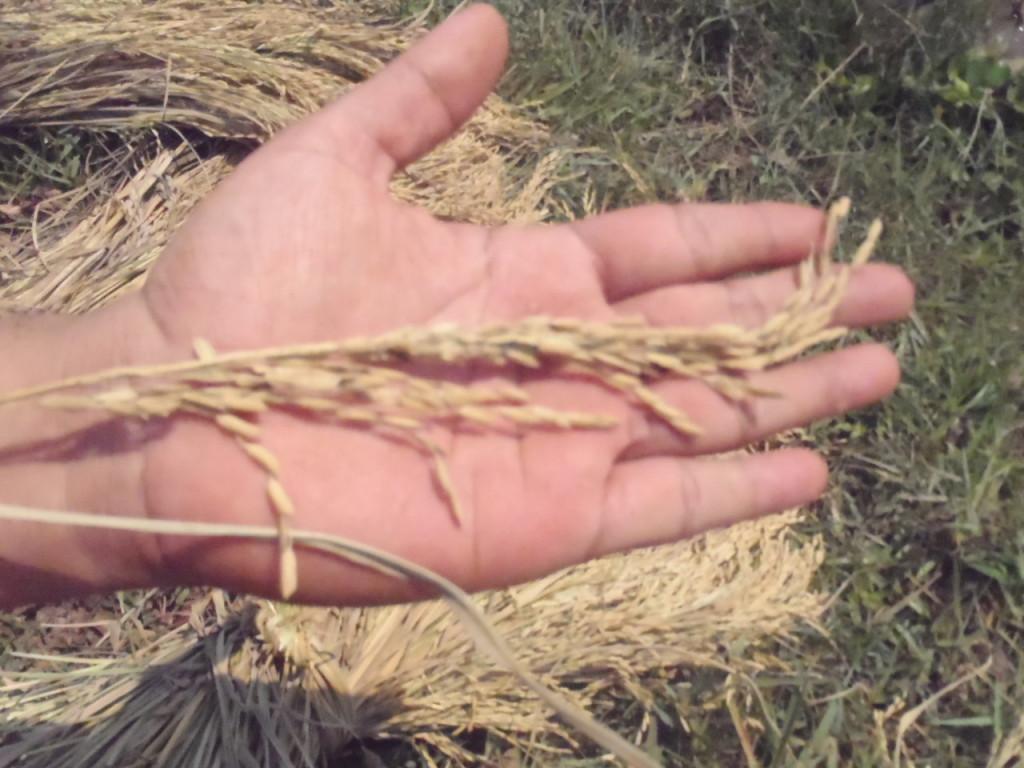穂は非常に長いが粒の小さいカンボジアのお米