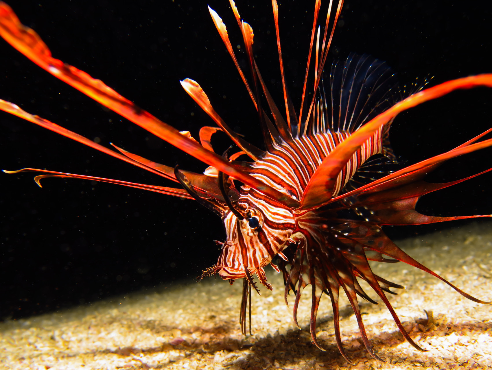 Lion Fish at Dilumacad Tunnel