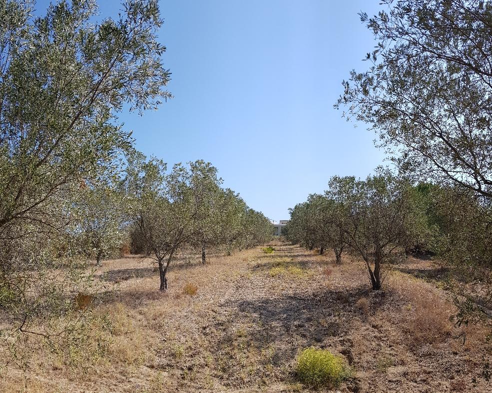 Unser Olivenhain