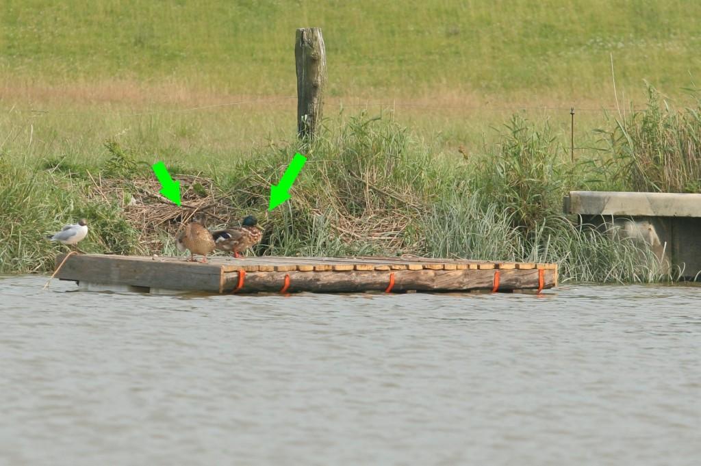 Juli 2010 Der Entenschlengel ist ausgebracht. Foto: Lutz Lühmann