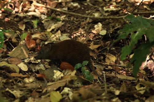 Es ist keine Ratte, es ist ein kleines flinkes Känguru