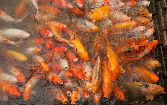 Die Fütterung der Kois in einem der Wasserbecken klang, als würde Spaghettiwasser kochen