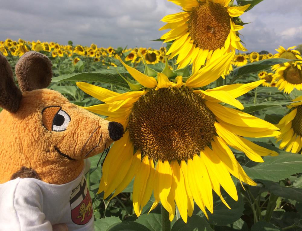 Passt nicht meine Fellfarbe perfekt zu den Sonnenblumen ?