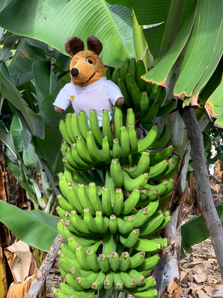 Bananenpflanzen sind auf der ganzen Insel allgegenwärtig.